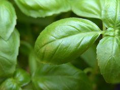 Common Culinary Herbs #herbs #commonherbs