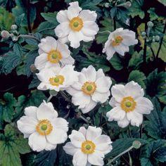 Honorine Jobert Windflower from Park Seed