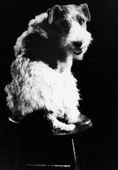 Canine actor Skippy as 'Asta' - 'The Thin Man', 1934 directed  by W.S. Van Dyke. S)