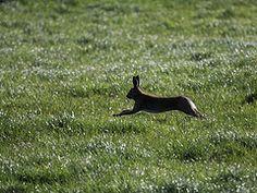 irish hare -
