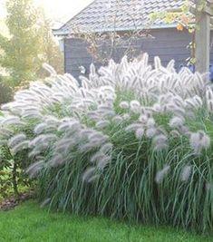 onderhoudsarme vaste planten voor je tuin | Lampepoetsersgras Wuift zo weelderig heen en weer op de wind, krijgt van die mooie pluimen en kan in de volle zon.