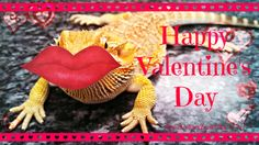 What a heart-breaker this little guy is! www.critterzoneusa.com #izod #critterzoneusa #critterzone #valentines #valentinesday #beardeddragon #beardie