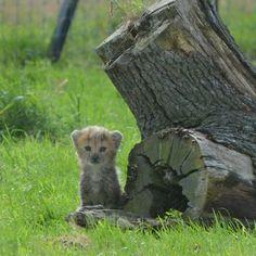 Baby Cheetah! at ZSL Whipsnade Zoo