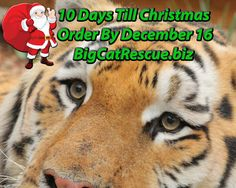 Visit our online gift shop at BigCatRescue.biz and order your holiday gifts today. Purchases help fund the care of the cats living at Big Cat Rescue. Thanks to your holiday shopping we are able to make sure that every cat big and small has a very merry Christmas. Order now to receive in time for ChristmasUse coupon code HOLIDAYGRR for 10% off. Offer ends Sunday! Order today so gifts arrive in time for ChristmasNote: Some products are custom made to order and may not arrive by Dec. 25th,