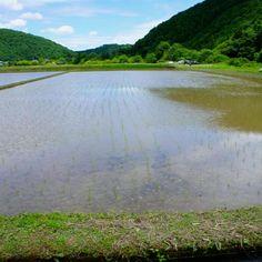 the rice‐planting season