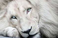 the magic of the white lions of africa and their connection with egypt