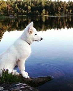 Hvit gjeterhund / berger blanc suisse / white German Shepherd / shepherd puppy / white German shepherds / lovely dogs / beautiful dog / German Sheperd Dogs, German Shepherds, White Husky, White Dogs, Beautiful Dogs, Animals Beautiful, Cute Animals, Doggies, Pet Dogs