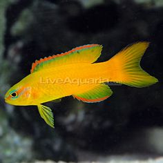 """Gold Assessor Basslet  Minimum Tank Size: 30 gallons  Care Level: Moderate  Temperament: Peaceful  Reef Compatible: Yes  Water Conditions: 72-78° F, dKH 8-12, pH 8.1-8.4, sg 1.020-1.025  Max. Size: 3""""  Color Form: Red, Yellow  Diet: Carnivore  Origin: Coral Sea"""