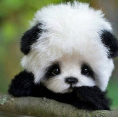Mention Someone Who Loves Panda Cute Panda Baby, Cute Baby Puppies, Baby Animals Super Cute, Cute Little Animals, Cute Funny Animals, Cute Cats, Baby Animals Pictures, Cute Animal Pictures, Animals And Pets
