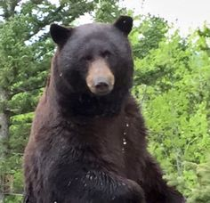 It's not often we hear about a bear coming face-to-face with one of our window treatments. Hunter Douglas, Black Bear, Shades, Hunters, Animals, Products, Animales, American Black Bear, Animaux
