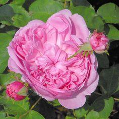 Sidonie est la rose ancienne dans toute sa splendeur, sur un petit buisson de 80 cm. Son parfum est délicieux, fruité, puissant. Ses fleurs sont énormes (12 cm), rose pâle, en quartiers.  Autre particularité : ses aiguillons sont rouges. La floraison est remontante. Seule ombre au tableau, sa légére sensibilité au marsonia.      Hybride Remontant. Vibert, 1847.