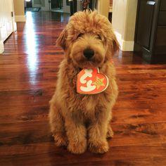 My goldendoodle Cash. Happy Halloween!!!