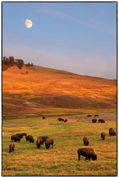 Bison grazing on hill at Hayden Valley, Moonrise, Yellowstone National Park, WY.