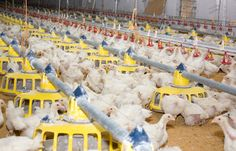 FDA Sued for Concealing Records on Arsenic in Poultry Feed #green #sustainability #rmogreen