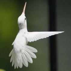 Великолепных изображений редкого Альбино Hummingbird Евой