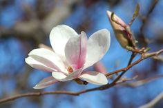 Saucer Magnolias: a Staple of Spring
