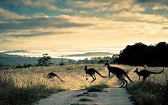 kangaroo marsupial Macropodidae animals australia outback roads track trail street nature landscapes fields grass hills scenic