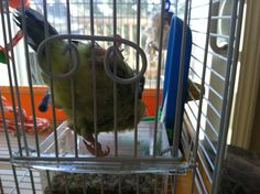 This is Mika, a Pacific Parrotlet, who has an lame foot.  She is a sweetheart!
