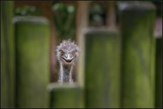 Strange Emu  - not EMO