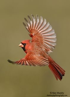 Northern Cardinal on the wing www.alanmurphyphotography.com
