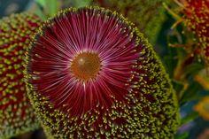 Aussie cousin. Banksia praemorsa. Unusual Flowers, Tiny Flowers, Love Flowers, Protea Wedding, Wedding Flowers, Australian Wildflowers, Australian Plants, Source Of Inspiration, Botany