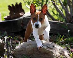 Rat Terrier Puppy Aweee