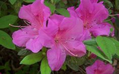 With its dark pinkish-purple flowers produced in spring, late summer and fall, lustrous green summer foliage and attractive purple winter foliage, Autumn Amethyst Encore Azalea offers vibrant year round color to any garden.
