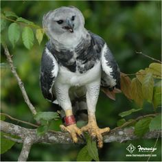 #Panama's national bird is the extremely rare species of bird, Harpy Eagle! #LearnMore