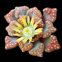Titanopsis hugo-schlechteri 20 seeds Rare Cactus Living Stones Succulent plant