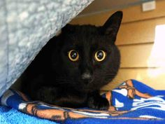 BANDIT is an adoptable Domestic Short Hair searching for a forever family near Tacoma, WA. Use Petfinder to find adoptable pets in your area.