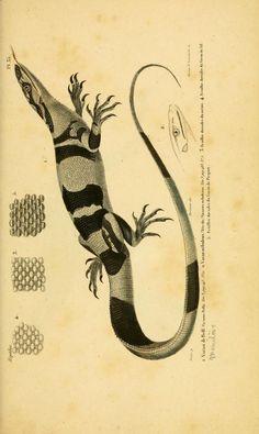 Erpétologie Générale: Histoire naturelle complète des reptiles, Dumeril, Bibron, & Dumeril, 1834-1854.