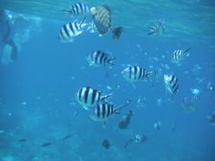 Snorkelling with some zebra fish.