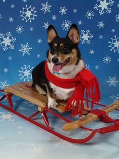 sled dog  The Daily Corgi