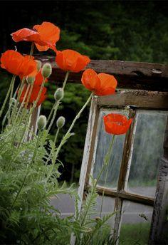 Poppies- summer 2010 Hannah Lenius