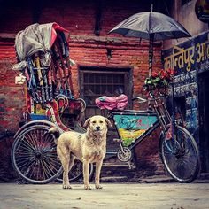 Found this #street #pup in a #hidden ally of #Thamel, #rickshaw and all.    #color #colors #sharp #structure @instagram #photooftheday #dog #dogsofinstagram #bicycle #streetphotography #streetart #fuji #fujifilm #fujixseries #kathmandu #nepal #asia #asian #puppy @nepal8thwonder_ @nepalphotoproject #nepal8thwonder #photo_storee