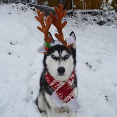 Humans Attempt To Do A Christmas Card Photoshoot With Their Husky, And The Result Is Just Too Funny Funny Babies, Funny Kids, Funny Cute, Funny Christmas Poems, Christmas Humor, Grumpy Dog, Photos With Dog, Funny Pictures For Kids, Funny Drawings