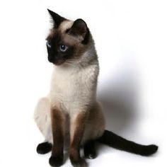 The memory and love of our 1st Siamese of 19 years remains in our hearts and will live there always.