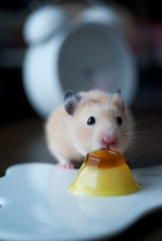 Hamsters luv Jell-O! Super Cute Animals, Cute Baby Animals, Animals And Pets, Funny Animals, Hamster Food, Hamster Eating, Hamster Pics, Baby Hamster, Funny Hamsters