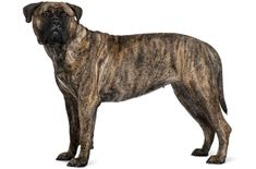These large dogs boast great endurance, strength, and a solid body. The Bullmastiff is protective and fearless when protecting its master and family. Bullmastiff, Puppy Feeding Guide, Irish Wolfhound Dogs, Akc Breeds, Dog Weight, Dog Information, Humane Society, Large Dogs, Cute Dogs