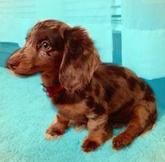 Dapple dachshund: Looks just like my pup!                                                                                                                                                                                 More