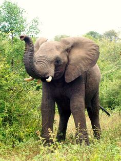 Playful Elephant calf in the Kruger National Park