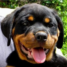 Image detail for -Rottweiler puppy face free image in gallery dogs Rottweiler Training, Rottweiler Puppies, German Rottweiler, Cute Puppies, Cute Dogs, Awesome Dogs, German Dog Breeds, Rotten, Welsh Terrier
