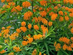 Drought-tolerant butterfly weed isn't picky about growing conditions. Give it a sunny spot, and you'll be on your way to a flowery summer. Butterflies, bees and other pollinators can't resist these bright orange blooms. This perennial pushes through soil in late spring, well after other plants are up and at 'em. It's a good idea to mark clumps with a stake to avoid early season digging in that spot. Hardy in Zones 3 to 9.