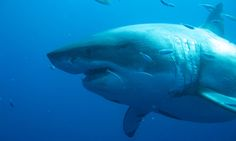 These Divers Came Face-to-face With One of the Largest Great White Sharks on Record and the Photos Are Breathtaking Deep Blue Great White, Deep Blue Shark, Largest Great White Shark, Different Types Of Sharks, Scuba Diving Pictures, Pictures Of Sharks, Shark Images, Shark Facts, Big Shark