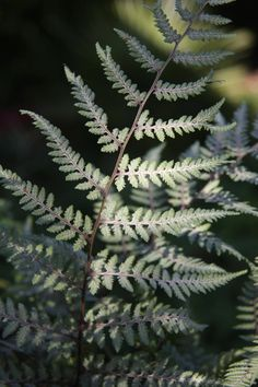 Athyrium 'Ghost' - Very different from anything else, even the grey forms of A. nipponicum, this truly unique fern has uniformly very pale grey fronds with darker stipes. Fronds are regularly and delicately divided and rise in a rather upright fashion to 90cm. Presumed to be a hybrid between the 'painted' and 'lady' ferns. A wonderful contrast to greener things. For semi-shade.