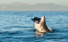 A Great White Shark hunts a seal in False Bay, off the coast of Cape Town, South Africa. Picture: Tonya Herron / Barcroft Media