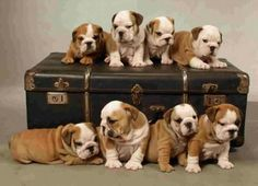 Cute bulldog puppies on suitcase.