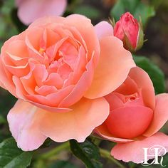 Whether it is the slightly cupped petals, rich apricot color, or the exceptional composition, Douglas Gandy™️ will take your breath away. Beautiful Roses, Beautiful Gardens, Bed Of Roses, Paving Ideas, Heirloom Roses, Types Of Roses, Shrub Roses, Wars Of The Roses, David Austin Roses