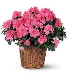 Indoor pink Azalea in basket
