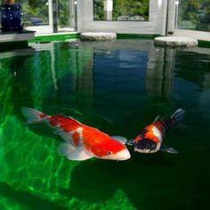 Okanagan Koi .. I want this fish in my future backyard aquarium ...